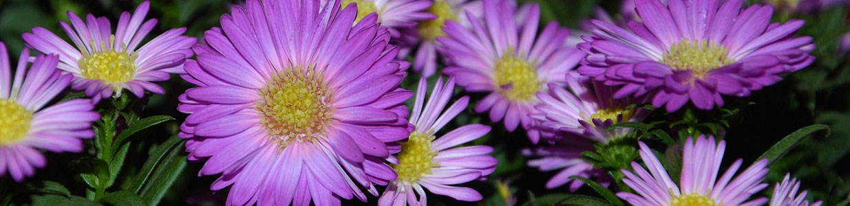 Purple perennial asters