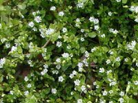 Common weeds in the yard and garden meadows farms creeper that forms a dense mat in moist cool conditions bright sun tiny white flowers mightylinksfo