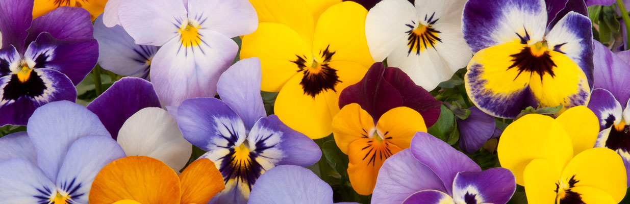 A batch of colorful pansies