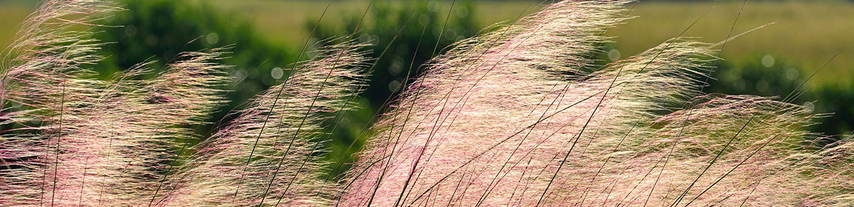 The plumes of ornamental grasses